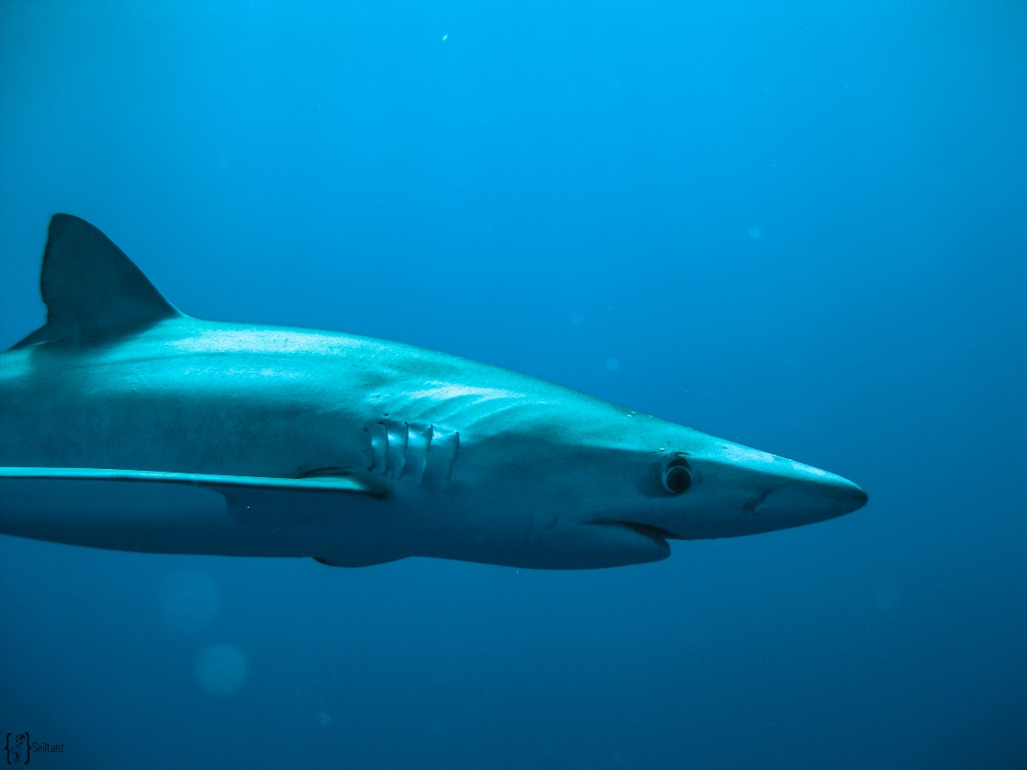 11 Condor Banks blue shark