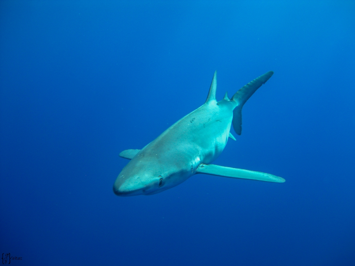 6 Blue shark Azoren