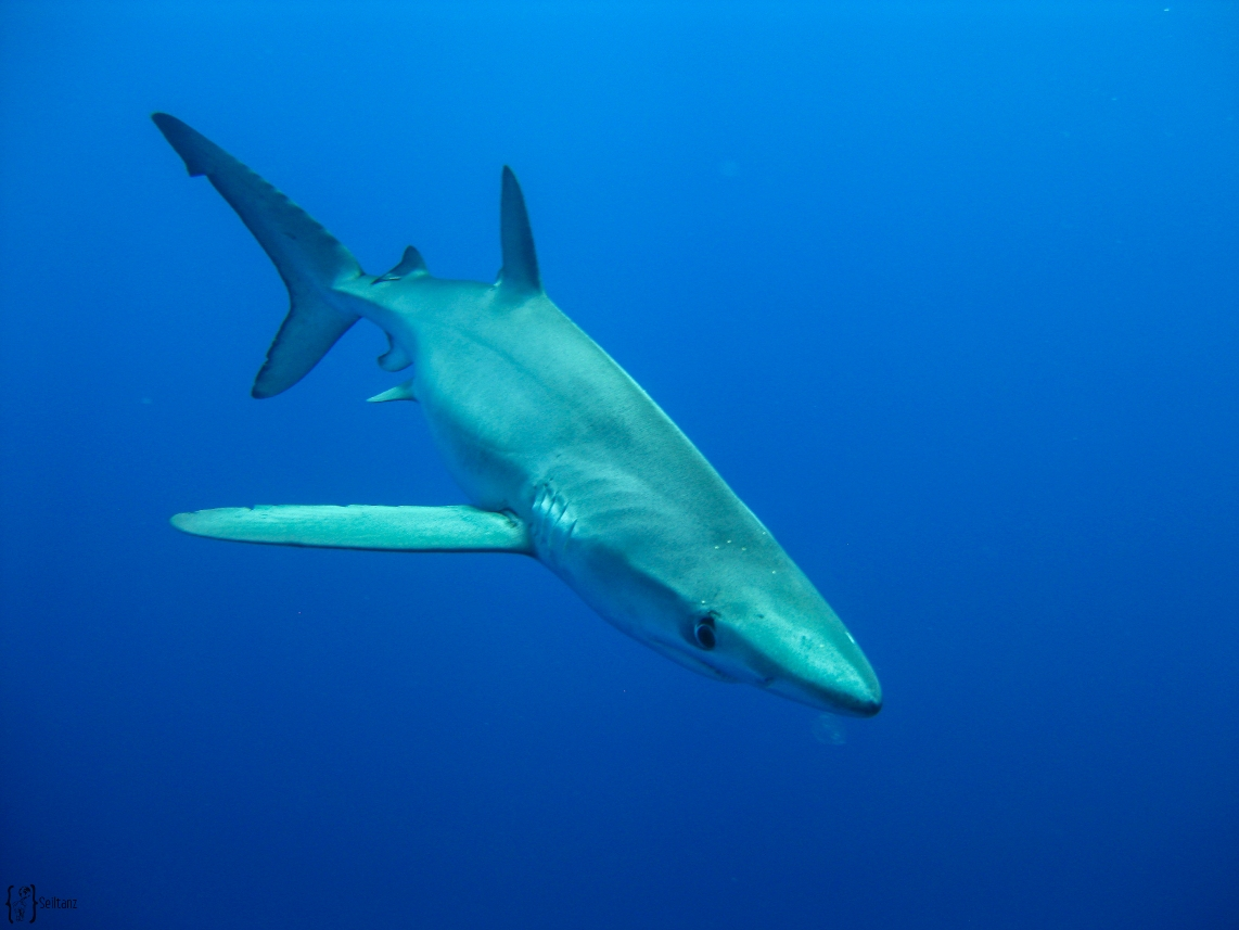 8 Diving with blue shark