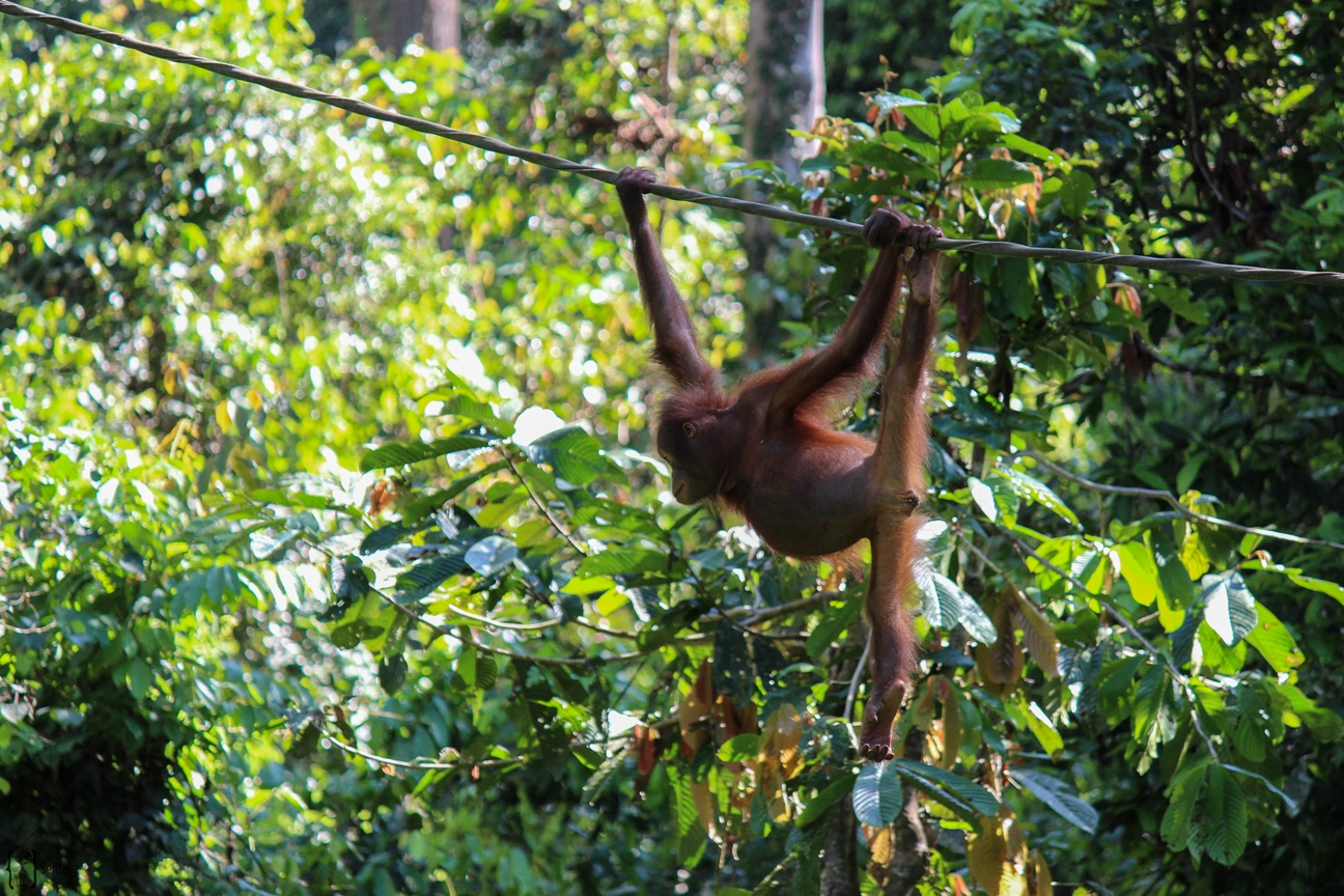 8 Orang-Utan Rheabilitation Center Sepilok