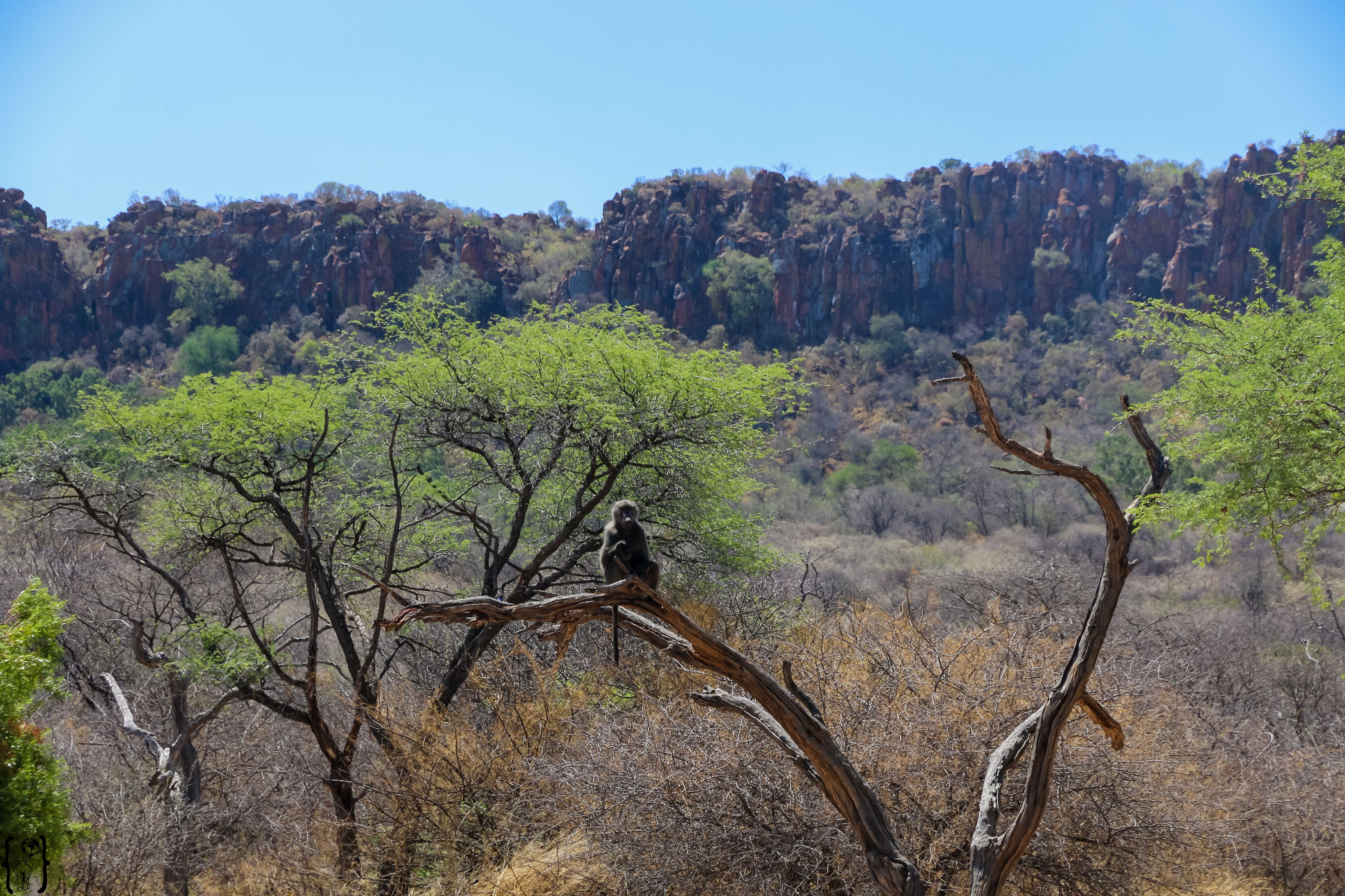 Affen am Waterberg in Namibia
